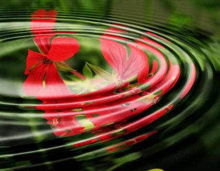 פרחי גרניום אדומים מתחת למים כסמל לרגיעה מקסימלית